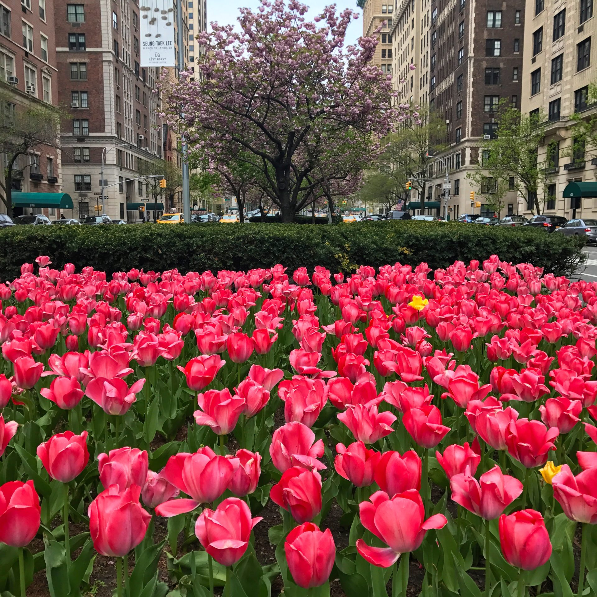 Cherry Blossoms at Park Avenue